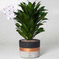 گلدان طبیعی دراسنا کامپکت