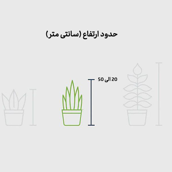 گیاه کالاتیا سندرینا (کالاته آ) با گلدان صورتی
