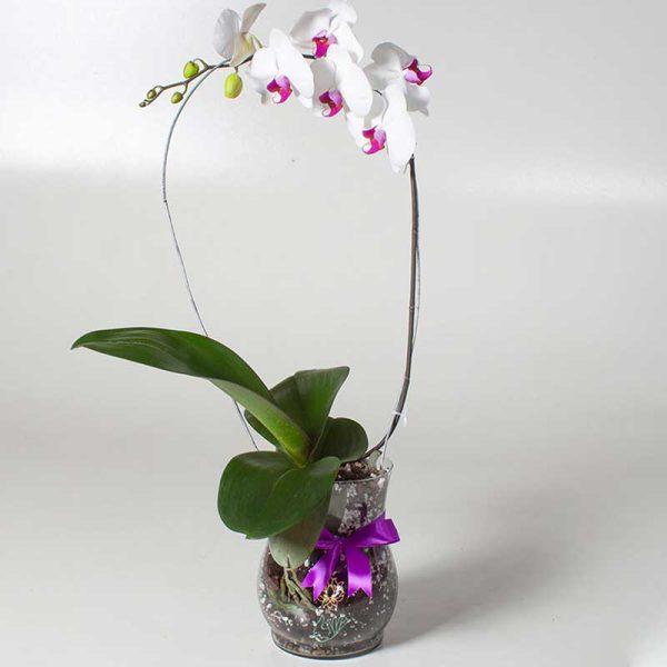 گل ارکیده فالانوپسیس سفید بنفش